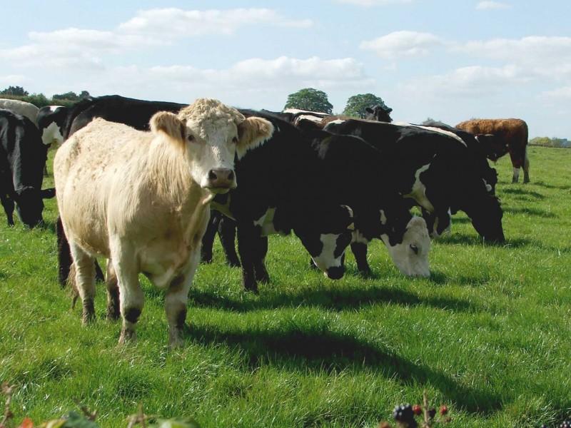 Moreton cows