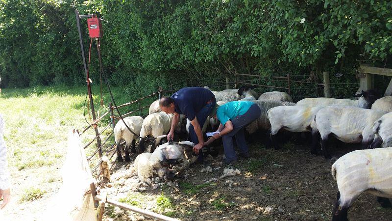 Watching sheep shearing on a tour