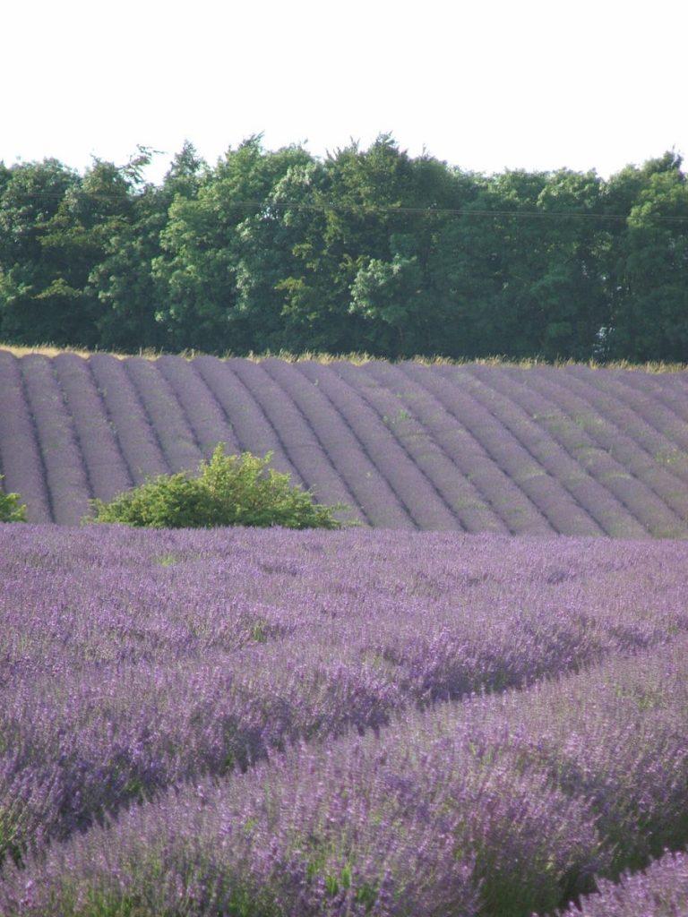 e-bike tour to lavender fields